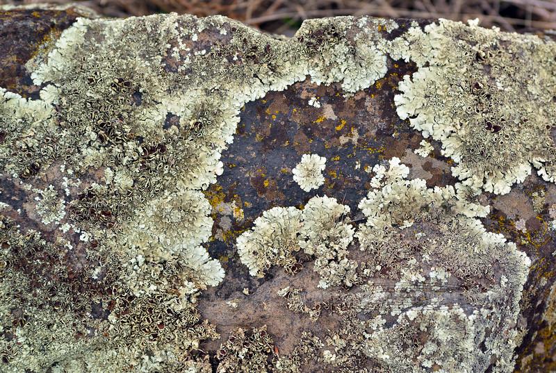 Z-LICHEN-Rhizoplaca melanophthalama 2015.12.27-Whitebird battlefield, Idaho.