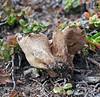 F-PUFFBALLS, ASSOC'S-Lycoperdon perlatum 2006.6.29#0200.4. A Gem-Studded Puffball. Sheep Mountain, Glenn Highway Alaska.