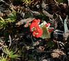 Z-LICHEN-Cladonia bellidiflora 2005.8.19#0138.2. British Soldiers. Denali Country, east central Alaska.