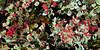 Z-LICHEN-Cladonia bellidiflora 2011.8.15#074.4. British Soldiers. Twelve mile, Denali Park Alaska.