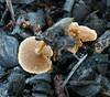 F-BRACKET FUNGI-Coltricea cinnamomea 2005.8.13#0086.2. Kincaid Park, south,  Anchorage Alaska.