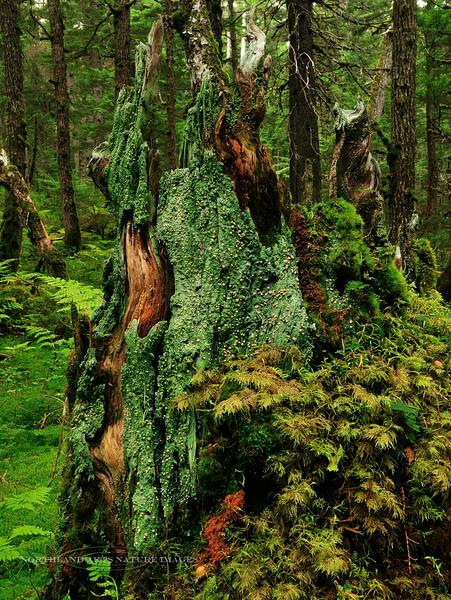 Z-LICHEN-Icmadophila ericetorum 2009.9.7#032. Called Peppermint Drops or Fairy Puke. Winner Creek, Chugach Forest Girdwood Alaska.