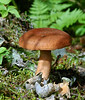 F-GILLED-Lactarius rufus 2005.8.5#0040.2. The Red Lactarius. Turnagain Pass, Kenai Peninsula Alaska.