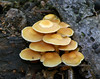 F-GILLED-Armillaria gallica 2005.8.29#344.2. Honey  mushroom group. South side of Kincaid Park, Anchorage Alaska.