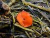 F-SAC FUNGI-Scutellinia scutellata 2005.10.4#0002.4. Eyelash Cup. Oil Bay, West side of Cook Inlet Alaska.