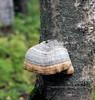 F-BRACKET FUNGI-Fomes fomentarius 2012.9.4#019.3. Tinder Conk. Kincaid Park, Anchorage Alaska.