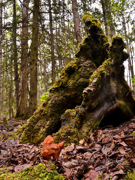 FM-Gyromitra infula 2014.8.8#044. The Hooded False Morel. Very poisonous, do not eat! Kincaid Park, Anchorage Alaska.