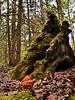 F-SAC FUNGI-Gyromitra infula 2014.8.8#044. The Hooded False Morel. Very poisonous, do not eat! Kincaid Park, Anchorage Alaska.