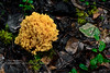 FM-Ramaria species 2014.8.26#067. Perhaps rasilispora. Gary A.Laursen, Alaska Cryptogams. Near Morino Trail, Denali Park, Alaska.