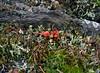 Z-LICHEN-Cladonia bellidiflora surrounded by Cetraria islandica 2014.8.26#277.3. British Soldier's and Reindeer Lichens. Twelve mile, Denali Park Alaska.