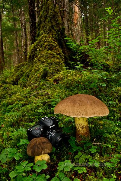 F-BOLETACEAE-Boletus Coniferarum 2014.8.17#083. The Conifer Bolete. Winner Creek Chugach Forest, Girdwood Alaska. The largest one measured 27cm's around the cap.