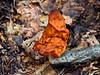 F-SAC FUNGI-Gyromitra infula 2013.9.23#036. The hooded False Morel. Very poisonous, do not eat. Kincaid Park, Anchorage Alaska.