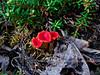 FM-Cup-Sarcoscypha Hiemalis 2008.6.14#101. The Scarlet Elf Cup. Woods near Paxson, Alaska Range, Alaska.