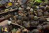 FM-Panaeolus alcis 2014.9.6#180. Moose dung panaeolus. Kincaid Park, Anchorage Alaska.