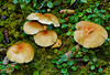 F-GILLED-Hypholoma fasciculare 2005.9.7#0177.3. Sulphur Tuft. Russian River, Kenai Peninsula Alaska.