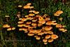 F-GILLED-Xeromphilina species 2015.8.6#060. Winner Creek Chugach Forest,  Girdwood Alaska.