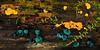 FM-Citrina bisporella & Chlorociboria aeruginascens 2010.8.30#079. Kinkaid Park, Anchorage Alaska.