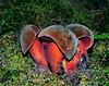 F-BOLETACEAE-Boletus erythropus (now changed to Neoboletus luridiformis) 2011.8.10#070.3. Scarletina Bolete. Upper Palmer Creek Valley. North Kenai Mountains, Alaska.