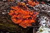 F-BRACKET FUNGI-Pycnoporellus alboluteus 2012.10.16#038. An unusual polypore in it's toothed form, looking like a bright orange paper wasp nest. These were found on a fallen Sitka Spruce. Kincaid Park, Anchorage Alaska.