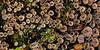 Lichen-Cladonia pyxidata 2012.6.29#013.  Savage Canyon, Denali Park  Alaska.