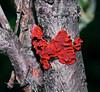 F-JELLY FUNGI-Tremalla foliacia 2008.8.1#053.4. Jelly Leaf. Fish Creek Trail near Paxson Alaska.