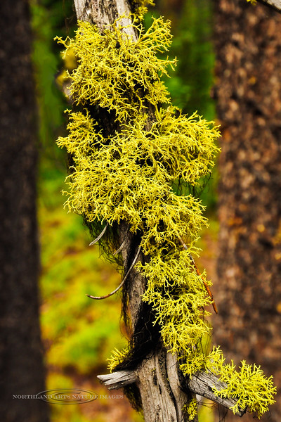 Z-LICHEN-Letharia vulpina 2012.6.18#035. Wolf Lichen. Clearwater Forest, Idaho.
