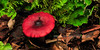 F-GILLED-Russula emetica 2011.8.18#-51.5. One of the sickeners, not at all good to eat! Kincaid Park, Anchorage Alaska.