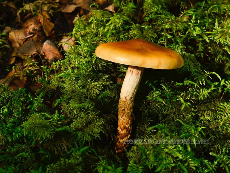 FM-Cortinarius trivialis 2013.8.25#138. Found in mixed birch, aspen, spruce forest. Kincaid Park, Anchorage Alaska.