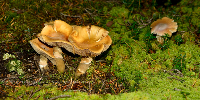 FM-Rozites caperatus 2013.8.15#180. The Gypsy Mushroom. In typical Alaska habitat. These are far beyond the prime stage for eating but It's fascinating the form and shape fungi become in their old age. Palmer Creek road above Hope. Kenai mountains, Alaska.