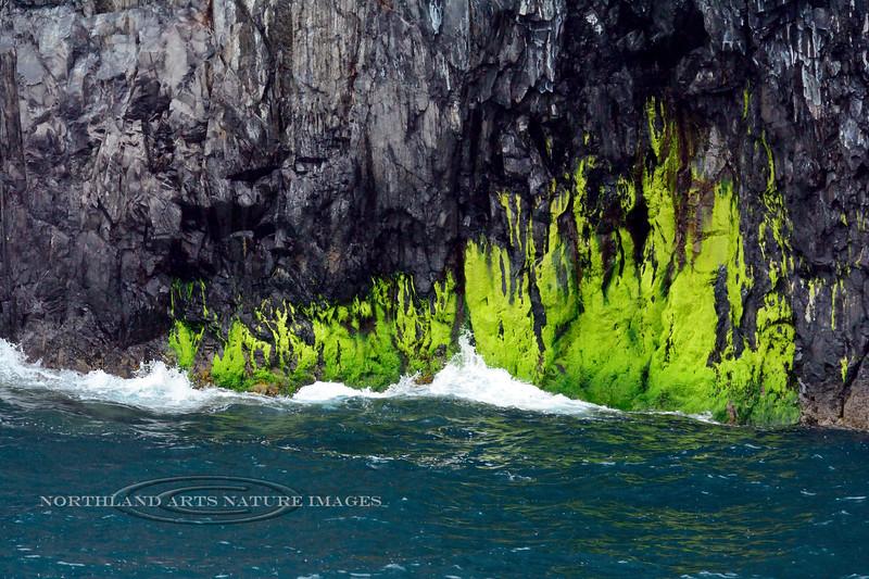 Z-ALGAE-Not sure but possibly Enteromorpha spp. 2016.8.4#1295.3. Green Algae. Kenai Fjords Nat. Park, Alaska.