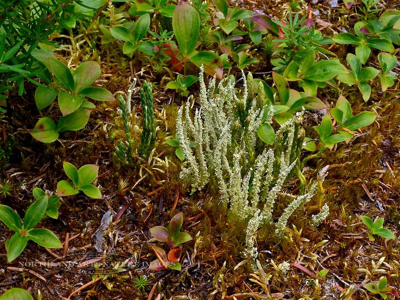 Lichen-Cladonia sqaumosa 2014.8.6#185. Turnagain Pass, Kenai Peninsula, Alaska.