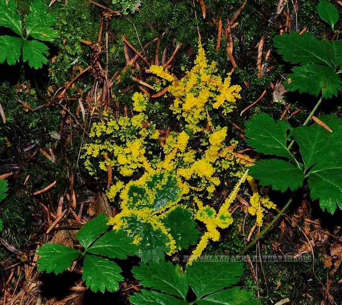 F-SLIME MOULDS-Leocarpus fragillis 2009.9.7#077.3. Winner Creek Valley near Girdwood Alaska.