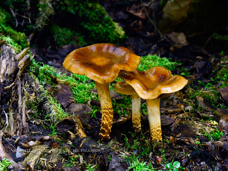 FM-Cortinarius trivialis 2013.8.25#162. Found in  mixed birch, aspen, spruce forest. Kincaid Park, Anchorage Alaska.