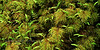 Z-MOSS-Pleurozium schreberi 2010.7.27#061. The Red Stem Feather moss. Winner Creek Chugach Forest, Girdwood Alaska.