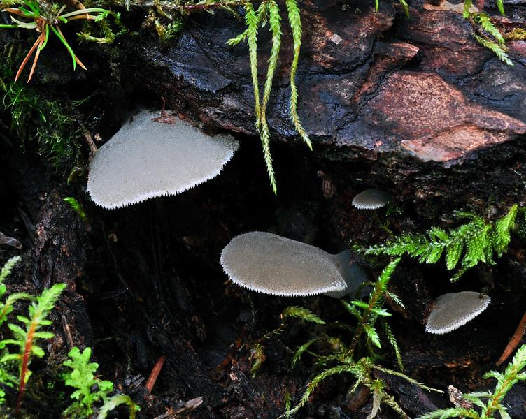F-JELLY FUNGI-Psuedohydnum(Tremellodon) gelatinosum 2010.8.20#056.4. Toothed Jelly Fungus. Winner Creek near Girdwood Alaska.
