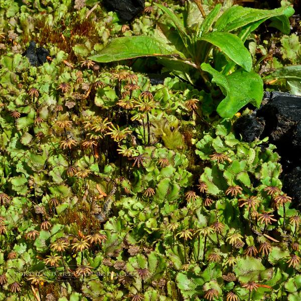 Z-LIVERWORT-Marchantia latifolia 2014.8.19#096. Palmer Creek road near Hope. Kenai mountains Alaska.