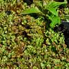 Liverwort-Marchantia latifolia 2014.8.19#096. Palmer Creek road near Hope. Kenai mountains Alaska.