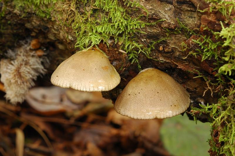F-GILLED-Panellus serotinus 2009.9.29#243. Late Fall Oyster. Kincaid Park Alaska.