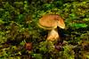 FM-Cortinarius croceus 2011.9.8#051. Olive Yellow Cortinarius. Winner Creek Chugach Forest, Girdwood Alaska.