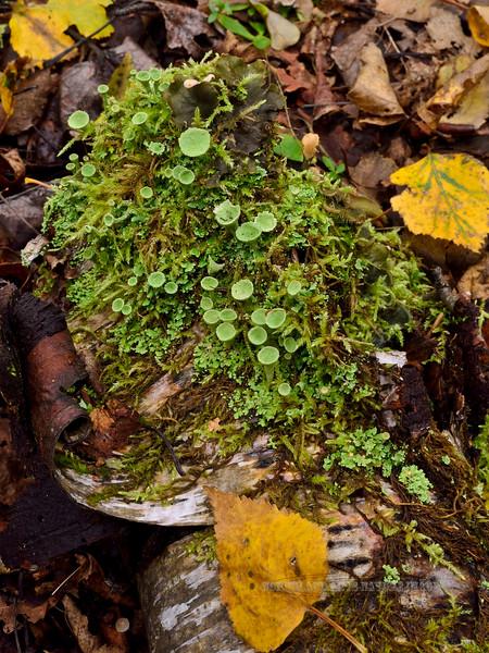 Lichen-Cladonia deformis 2014.9.14#178. Kincaid Park, Anchorage Alaska
