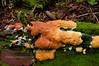 F-TOOTH FUNGI-Hydnophlebia chrysorhiza 2009.9.7#052.3. Orange Tooth Fungus. Winner Creek Valley near Girdwood Alaska.