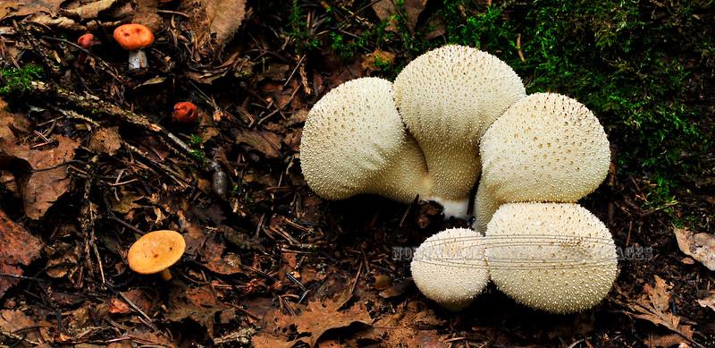 F-PUFFBALLS, ASSOC'S-Lycoperdon perlatum 2009.9.9#058. The Gemmed Puffball is a pleasant tasting edible mushroom. Grows during warm moist periods. Kincaid Park Anchorage Alaska.