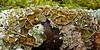 Lichen-Hypogymnia enteromorpha 2005.9.7#0159. Russian River, Kenai Peninsula, Alaska.