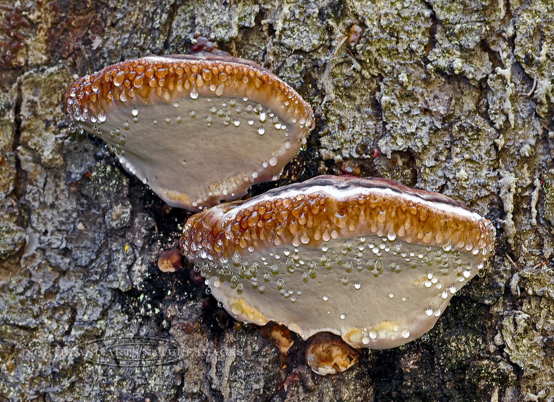 F-BRACKET FUNGI-Fomitopsis pinicola 2005.8.12#0189.3. A couple of very young Red Belted Conks that are exuding beads of moisture in a phenomenon called guttation. Winner Creek Valley, near Girdwood Alaska.