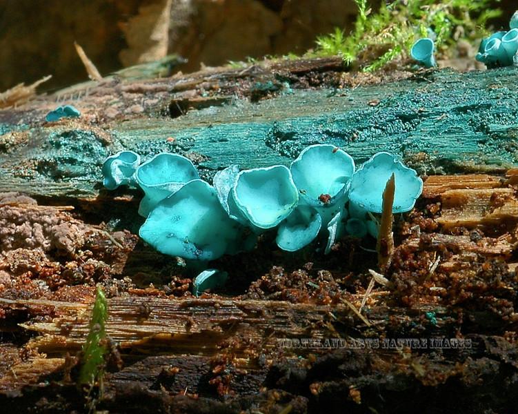 F-SAC FUNGI-Chlorociboria aeruginascens 2005.8.9#0214.6. Blue green Elf Cup. West side of Little Campbell Lake in Kincaid Park, Anchorage Alaska.