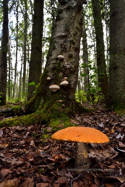 FM-Boletes-Leccinum insigne or aurantiacum 2014.8.9#214. The Birch Bolete. Kincaid Park, Anchorage Alaska.