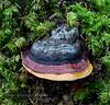 F-BRACKET FUNGI-Fomitopsis pinicola 2015.8.6#075.3. Red Belted Conk. Winner Creek Valley near Girdwood Alaska.