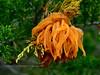 F-CORAL FUNGI-Gymnosporangium juniper virginianae 2016.5.5#021.2. The Cedar Apple Rust. Peace Valley, Bucks County Pennsylvania.