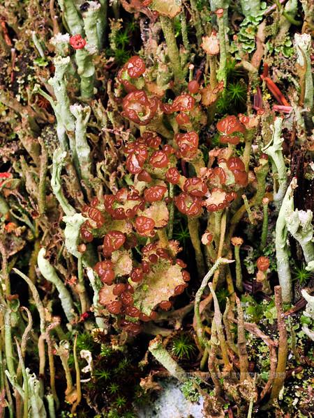 Z-LICHEN-Cladonia gracilis sp. 2011.8.15#029. Smooth Cup Lichen 12.5 mile, Denali Park Alaska.