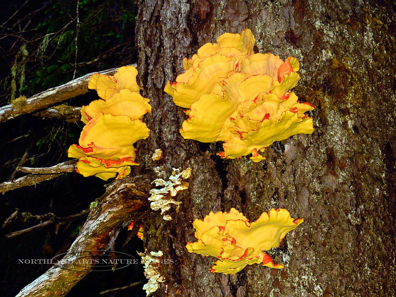 FM-Laetiporus sulphureus 2013.8.14#056. Now changed to conifericola. The Chicken Of The Woods. Chugach Forest, Girdwood Alaska. I thought to shoot this with a flash to better showcase the true color of this fungi. No matter what natural light it is shot in, the pale lemon yellow bottoms always reflect the orange tops of the layer below them.